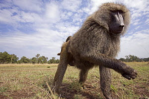 Male Savanna baboon, olive race (Papio cynocephalus anubis) reaching out, Masai Mara National Reserve, Kenya, August - Anup Shah