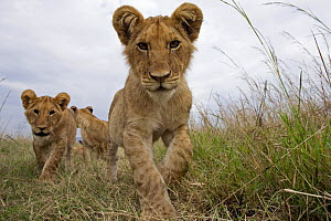 Inquisitive African lion (Panthera leo) cubs approaching with curiousity, Masai Mara National Reserve, Kenya, August  -  Anup Shah