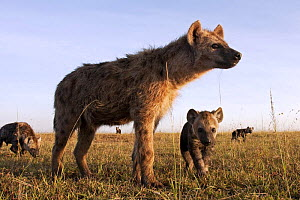 Spotted hyena (Crocuta crocuta) with pups, Masai Mara National Reserve, Kenya, December  -  Anup Shah
