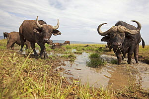 Cape buffalo (Syncerus caffer) at a water hole, Masai Mara National Reserve, Kenya, February  -  Anup Shah