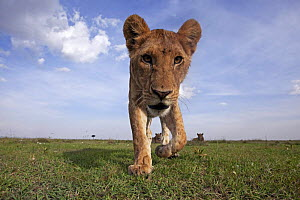 African lion (Panthera leo) adolescent approaching with caution and curiosity, Maasai Mara National Reserve, Kenya, February  -  Anup Shah