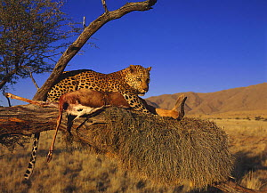 Leopard (Panthera pardus) with Springbok kill on an old weaver nest in tree, Namibia, captive (non-ex)  -  Andy Rouse