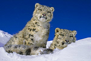 Snow leopard (Panthera uncia) pair in high alpine habitat, captive, USA (non-ex)  -  Andy Rouse