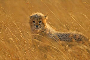Cheetah (Acinonyx jubatus) cub in grass, Masai Mara, Kenya *Not available for print-on-demand until August 2015*  -  Andy Rouse