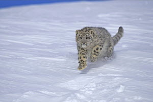 Snow leopard (Panthera uncia) bounding through snow, captive, USA  -  Andy Rouse