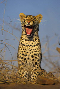 Leopard (Panthera pardus) yawning, South Africa  -  Andy Rouse