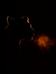 African lion (Panthera leo) outline breathing at dawn, Kenya  -  Andy Rouse