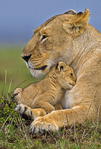 African lion (Panthera leo) mother and very young cub, Masai Mara, Kenya, Africa - Andy Rouse