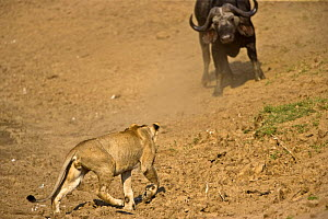 African lion (Panthera leo) hunting Buffalo, South Luangwa, Zambia (non-ex)  -  Andy Rouse