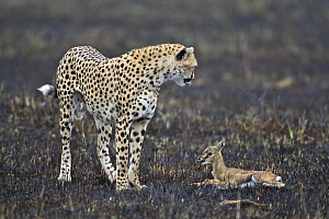 Cheetah (Acinonyx jubatus) mother with young Thomson's gazelle (Gazella thomsoni) for young to chase and learn hunting skills, Masai Mara, Kenya (non-ex)  -  Andy Rouse