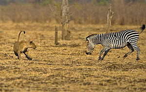 African lion (Panthera leo) playing with Burchells zebra (Equus quagga burchelli) originally chased but not serious, Luangwa Valley, Zambia, Africa (non-ex)  -  Andy Rouse