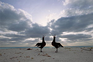 Black footed albatross (Phoebastria nigripes) pair displaying, Midway Islands, USA  -  Aflo
