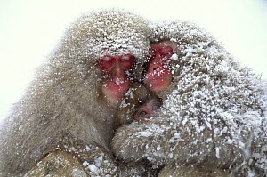 Two Japanese macaques (Macaca fuscata) sleeping with awake baby, in snow, Jigokudani, Nagano, Japan  -  Aflo