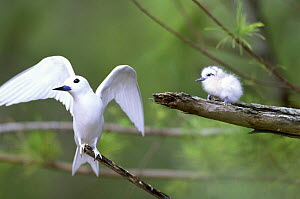Indian Ocean White Tern (Gygis alba candida) with wings outstretched and chick on nearby branch, Midway Islands, Pacific Ocean, USA  -  Aflo