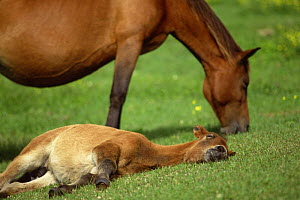 Misaki pony / Misakiuma foal lying on ground with adult grazing, Toimisaki, Miyazaki Prefecture, Japan  -  Aflo