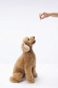 Domestic dog, Toy poodle looking up at treat being held above its head - Aflo