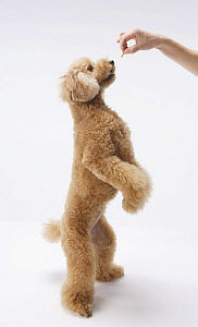 Domestic dog, Toy poodle standing on hind legs to get treat - Aflo