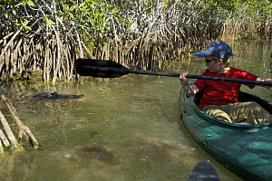 Russell Laman paddling past an American Alligator on a narrow mangrove channel on the Nine Mile Pond Canoe Trail. Everglades National Park, Florida, USA. Model released. April 2008  -  Tim Laman