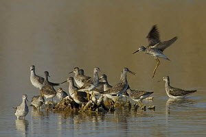 Lesser Yellowlegs (Tringa flavipes) group at high tide, one landing, Eco Pond, Everglades National Park, Florida, USA.  -  Tim Laman