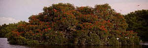 Large flock of Scarlet ibises {Eudocimus ruber} roosting in trees on a small mangrove island, Caroni Swamp, Caroni Bird Sanctuary, Trinidad.  -  Tim Laman