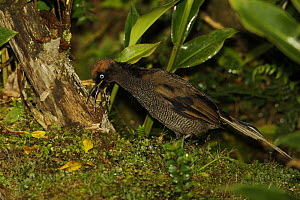 A young male Brown Sicklebill (Epimachus meyeri) bird of paradise, foraging on the ground for insects, Southwestern slopes of Mt. Hagen, Enga Province, Papua New Guinea. - Tim Laman