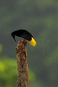 Adult male Twelve-wired Bird of Paradise (Seleucidis melanoleuca) on his display pole in the swamp forest along the Karawari River, East Sepik Province, Papua New Guinea.  -  Tim Laman