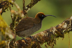 Female Brown Sicklebill Bird of Paradise (Epimachus meyeri) in the vicinity of Mt. Hagen, Enga Province, Papua New Guinea. - Tim Laman
