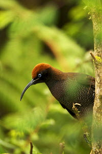 Female Brown Sicklebill (Epimachus meyeri) bird of paradise perched, in the vicinity of Mt. Hagen, Enga Province, Papua New Guinea. - Tim Laman