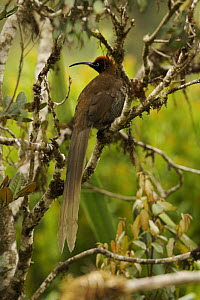Female Brown Sicklebill (Epimachus meyeri) bird of paradise in the vicinity of Mt. Hagen, Enga Province, Papua New Guinea. - Tim Laman