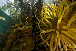 Giant anemone {Condylactis gigantea} amongst the roots of Red Mangrove trees {Rhizophora mangle} in the Belize Cays, Tunicate Cove, Belize. - Tim Laman