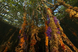 Sponges, tunicates and other invertebrates amongst the roots of Red Mangrove trees {Rhizophora mangle} in the Belize Cays, Tunicate Cove, Belize. - Tim Laman