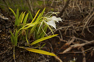 A wild orchid {Orchidaeceae} growing as an epiphyte on Mangrove tree, Peter Douglas Cay, Belize. - Tim Laman