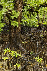Arched roots of Red mangrove (Rhizophora mangle) cross over the spiked roots of a Mangrove apple tree (Sonneratia alba) which supports ferns and other epiphytes. Kostrae Island, Federated States of Mi... - Tim Laman