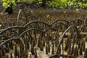 Arched roots of Red mangrove (Rhizophora mangle) cross over the spiked roots of a Mangrove apple tree (Sonneratia alba) Kostrae Island, Federated States of Micronesia. - Tim Laman