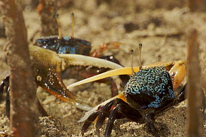 Fiddler crabs {Uca sp} living in a sandy tidal flat among the spike-like finger roots of Mangrove apple trees {Sonneratia alba}. Kostrae Island, Federated States of Micronesia. - Tim Laman