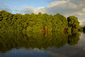 Early morning light illuminates a wall of Red mangroves {Rhizophora mangle} at the edge of a lagoon in Caroni Swamp with a rainbow in the background, Caroni Bird Sanctuary, Trinidad, Trinidad and Toba...  -  Tim Laman