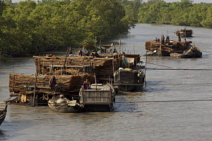Boats loaded with Ceriops wood (local name Goran) for making charcoal, Sundarbans, Khulna Province, Bangladesh, March 2006  -  Tim Laman