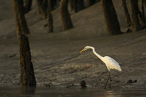 Intermediate egret {Egretta / Mesophoyx intermedia} hunting along the bank of a mangrove river in the Sundarbans, Khulna Province, Bangladesh, March 2006 - Tim Laman