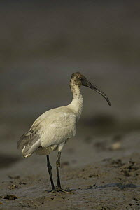 Immature Black-headed Ibis (Threskiornis melanocephalus) on a riverbank, Sundarbans, Khulna Province, Bangladesh - Tim Laman