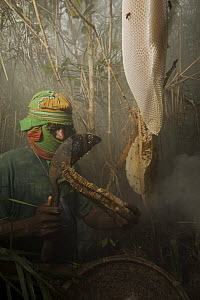 Man collecting honey from a honeycomb of the Giant Honeybee (Apis dorsata) using smoke to subdue the bees, a bush knife to cut the comb, and a basket to catch the honey and comb, Sundarbans, Khulna Pr...  -  Tim Laman