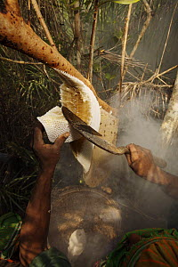 Man collecting honey from a honeycomb of the Giant Honeybee (Apis dorsata) using smoke to subdue the bees, a bush knife to cut the comb and a basket to catch the honey and comb, Sundarbans, Khulna Pro...  -  Tim Laman