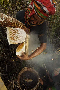 Man collecting honey from honeycomb of the Giant Honeybee (Apis dorsata) using smoke to subdue the bees, a bush knife to cut the comb and a basket to catch the honey and comb, Sundarbans, Khulna Provi...  -  Tim Laman