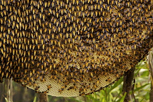 Comb / nest of the Giant honeybee (Apis dorsata)  Sundarbans, Khulna Province, Bangladesh, April 2006  -  Tim Laman