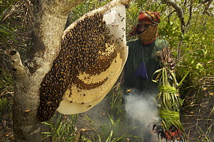 Collecting honey from a honeycomb of the Giant Honey bee (Apis dorsata) using smoke to subdue the bees, a bush knife to cut the comb and a basket to catch the honey and comb, Sundarbans, Khulna Provin... - Tim Laman