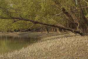 Mangrove forest dominated by Mangrove apple trees (Sonneratia sp) in the Southeast Sundarbans,  this area is heavily grazed by Axis Deer and all low foliage has been removed, Khulna Province, Banglad... - Tim Laman