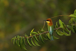 Chestnut-headed Bee-eater (Merops leschenaulti) perched, Sundarbans, Khulna Province, Bangladesh. - Tim Laman