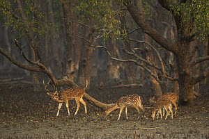 Axis / Chital deer (Cervus / Axis axis) foraging in Sonneratia mangrove forest. The deer are feeding on fallen leaves and fruits and occasionally reaching up to crop leaves. Rhesus monkeys are sometim... - Tim Laman