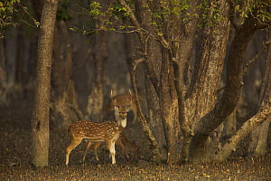 Male Axis / Chital deer (Cervus / Axis axis) foraging in Sonneratia mangrove forest. The deer are feeding on fallen leaves and fruits and occasionally reaching up to crop leaves. Rhesus monkeys are so... - Tim Laman