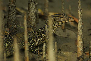 Asian / Common Water Monitor (Varanus salvator) amongst mangrove roots on a river bank, Sundarban Forest, Khulna Province, Bangladesh. - Tim Laman