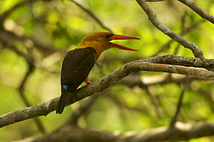 Brown-winged Kingfisher (Halcyon amauroptera) calliing in the mangroves, Sundarban Forest, Khulna Province, Bangladesh. - Tim Laman